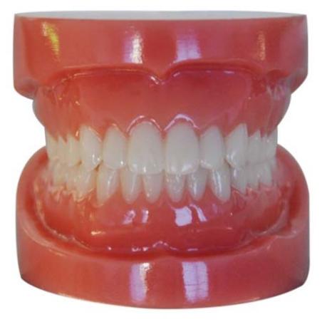 Typodont Model